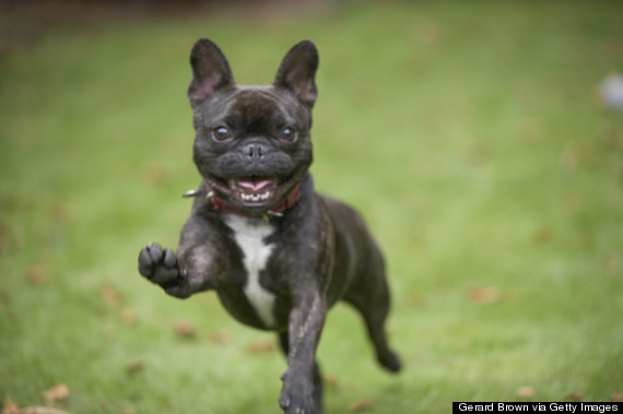 Alert French Bulldog running forwards